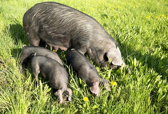schweine_1