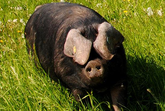 schweine_4